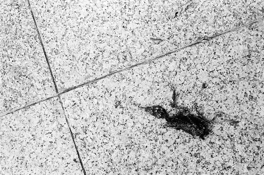 Republic of Singapore. Singapore. Dead bird on the ground.  10.11.01 © 2001 Didier Ruef