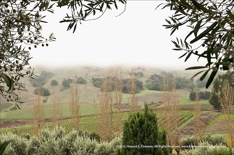 Olive trees awaiting harvest in Sonoma fog