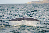 blue whale, Balaenoptera musculus, adult, with tail flukes raised, preparing to dive, near coast, Baja California, Mexico, Sea of Cortez, Gulf of California, Pacific Ocean
