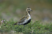 European Golden Plover, Pluvialis apricaria , female, Gednjehogda, Norway, June 2001