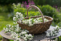 Weißdornblüten, Weißdorn-Blüten, Ernte, in einem Korb, Weißdorn, Weissdorn, Weiß-Dorn, Weiss-Dorn, Crataegus spec., English Hawthorn, May, Aubépine