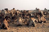EGY, Aegypten, Libysche Wueste: Dromedar-Karawane bei einer Rast | EGY, Egypt, Libyan Desert, dromedary caravan resting