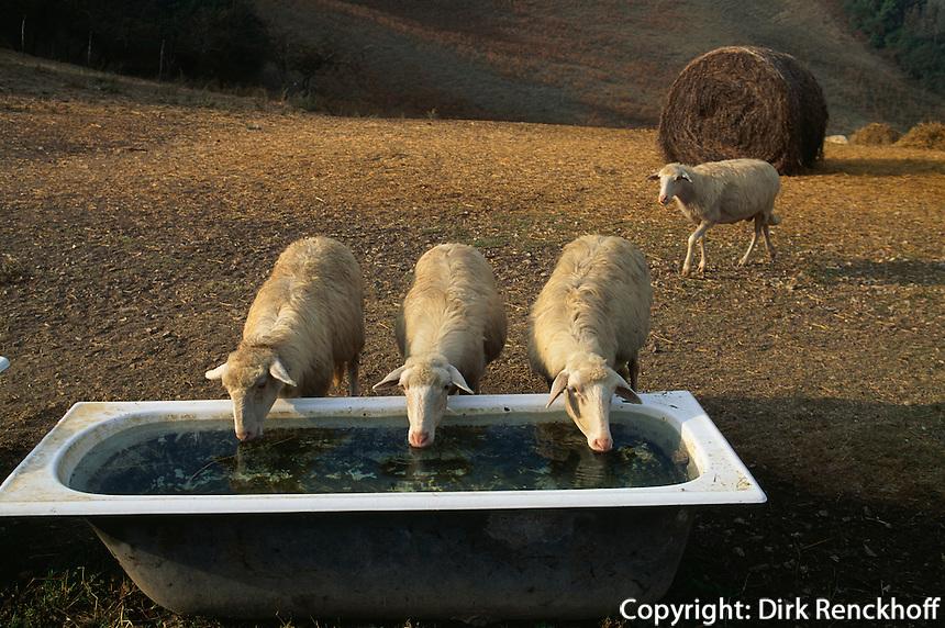 Italien, Toskana, Schafe bei Pienza