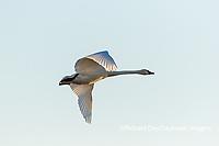 00758-01707 Trumpeter Swan (Cygnus buccinator) in flight Riverlands Migratory Bird Sanctuary St. Charles Co., MO