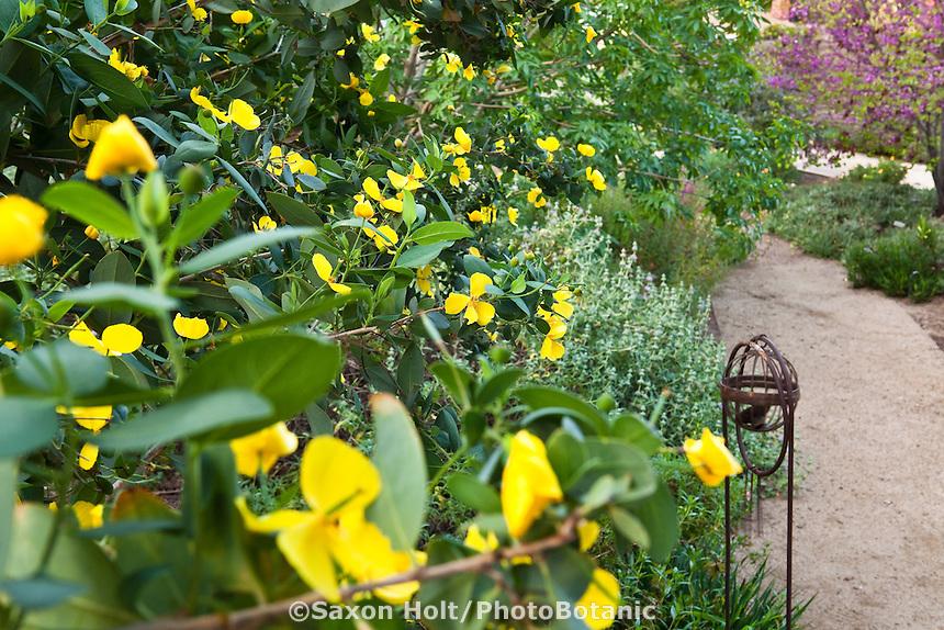 Yellow flower Island Bush Poppy (Dendromecon hartfordii) shrub Southern California, drought tolerant native plant garden