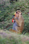 Toque Macaque Chewing On Human Trash