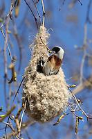 Beutelmeise, Männchen baut am Nest, Beutelnest, Beutel-Meise, Remiz pendulinus, penduline tit