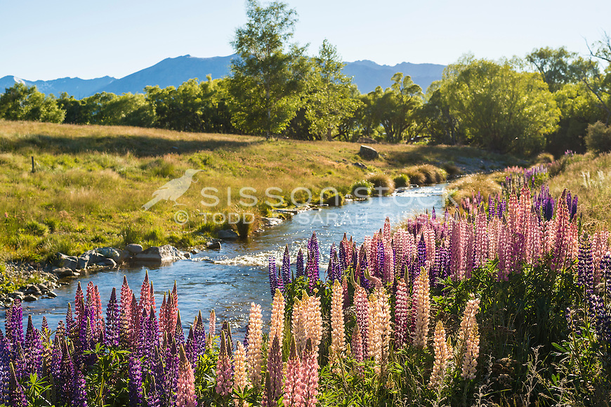 Flowering Lupins and stream, Lake Alexandrina, Mackenzie Country, Canterbury, South Island, New Zealand - stock photo, canvas, fine art prints
