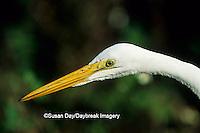 00688-01319 Great Egret (Ardea alba) J.N.Ding Darling NWR   FL