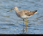 Greater Yellowlegs, Silver Salmon Creek, Lake Clark National Park, Alaska
