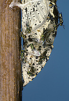 Pterolamus puparum - a pteromalid wasp emerging from pupa of Large White butterfly