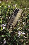 Log and wild irises, Mendocino California