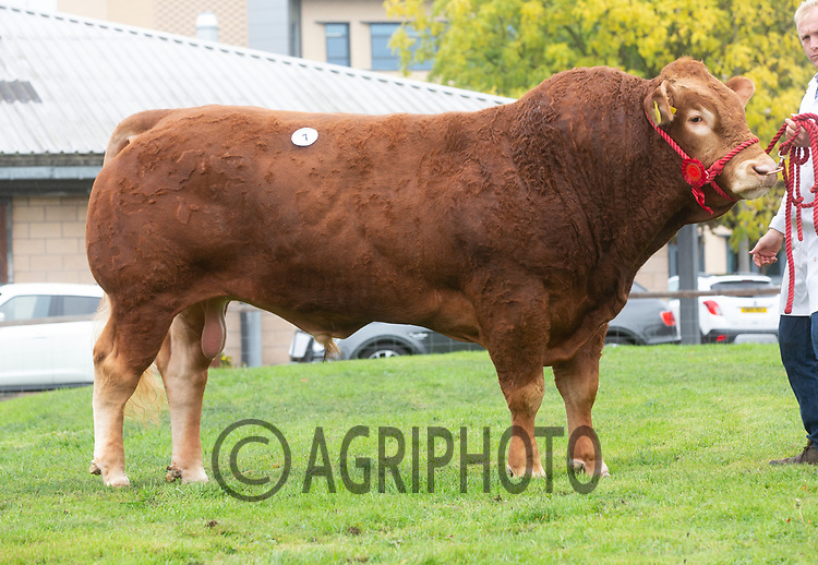 Limousin Day, Newark Livestock Market<br /> Lot 7 Calogale Magnum owned by G J Lee & C M Lloyd sold for 4000gns<br /> ©Tim Scrivener Photographer 07850 303986<br />      ....Covering Agriculture In The UK....