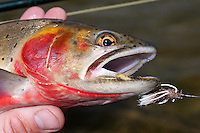 Greenback Cutthroat on a Turk's out of Lake Husted - Rocky Mountain National Park