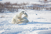 01874-13409 Polar Bears (Ursus maritimus) sparring, Churchill Wildlife Management Area, Churchill, MB