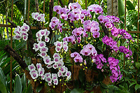 Singapore Botanic Garden, Orchids in National Orchid Garden.