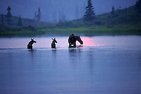 A cow moose with calves wading though water. Denali National Park, Alaska.