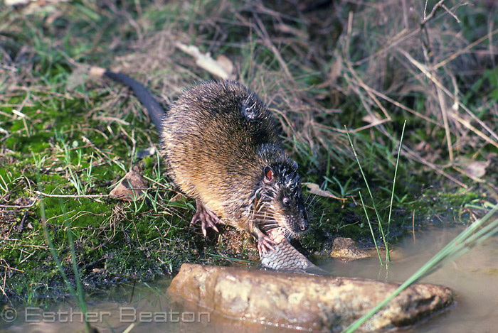 Water Rat (Hydromys chrysogaster) with fish. Southeastern Australia