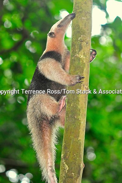 Northern tamandua (Tamandua mexicana) Range: Mexico to Peru. Corcovado National Park, Costa Rica.