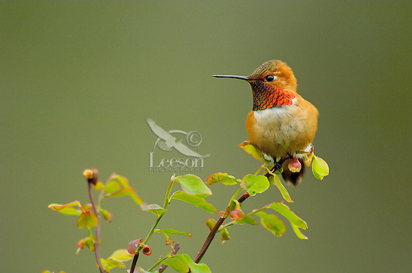 Male Rufous Hummingbird on red huckleberry branch.  Pacific Northwest.  Spring.
