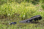 Brazoria County, Damon, Texas; a large, adult alligator sunning itself for warmth along the grassy bank of the slough, while half in and half out of the water, in afternoon sunlight