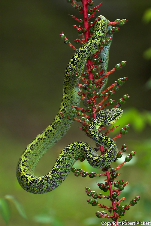 Black Speckled Palm Pitviper Snake, Bothriechis nigroviridis, venomous pitviper species Costa Rica, flexible, coiling tails are prehensile and aid them in their tree climbing lifestyle, arboreal, on red flowering plant,