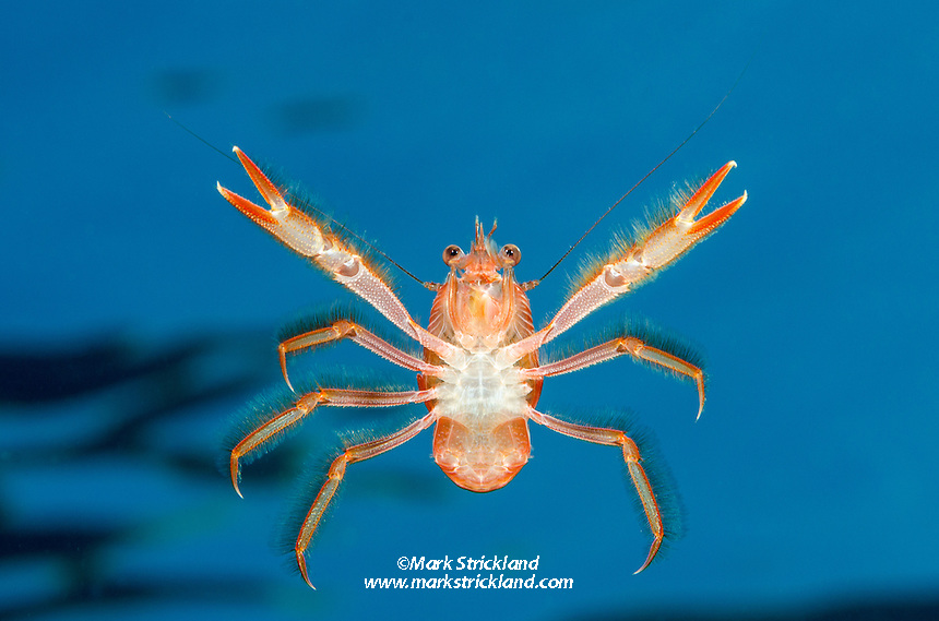 Red Pelagic Crab or Tuna Crab, Pleuroncodes planipes, Anacapa Island, Channel Islands, California, USA, Pacific Ocean