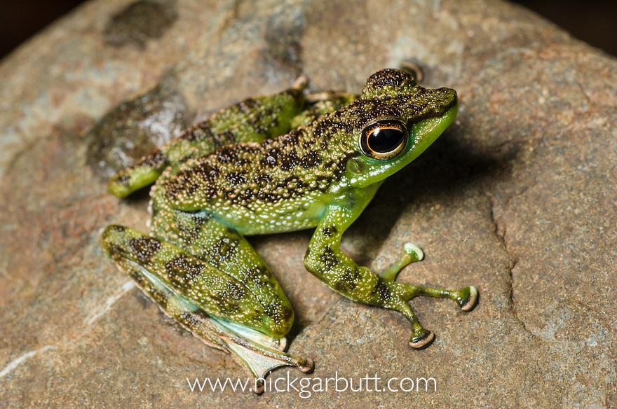 Green-spotted Rock Frog (Staurois tuberilinguis) on stream side rock. Danum Valley, Sabah, Borneo.