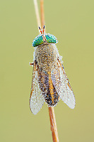 A female Horse Fly (Tabanus sp.) perches on its overnight roost in the early morning, covered in dew.