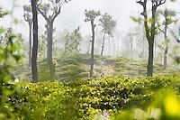 Sunrise at tea plantations, Haputale, Sri Lanka Hill Country, Nuwara Eliya District, Asia. This is a photo of sunrise at tea plantations and mountains at Haputale in the Sri Lanka Hill Country, Nuwara Eliya District, Asia.