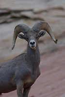 Desert Bighorn Sheep Ram seen on a summer day in southern Utah's Zion Nat Park.