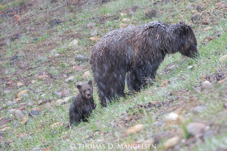 A grizzly bear cub follows its mother (grizzly 610) up a hillside in a late spring snowstorm in Grand Teton National Park, Wyoming.