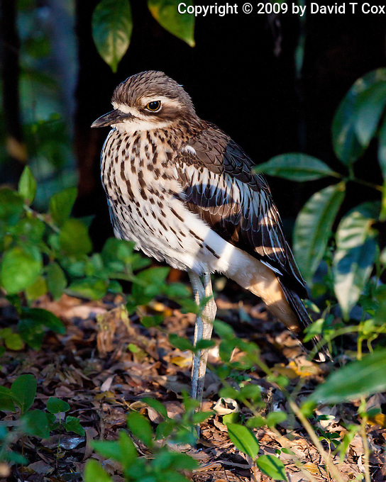 Bush Stone-Curlew, Cape HIllsbourough NP, Queensland, Australia