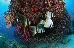 East Indonesia, Raja Ampat, Teira batfish beneath coral bommie