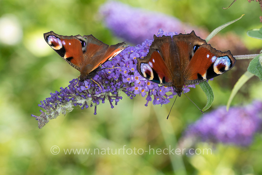Tagpfauenauge, Tag-Pfauenauge, Blütenbesuch auf Schmetterlingsflieder, Buddleja, Aglais io, Inachis io, Nymphalis io, peacock moth, European peacock, peacock, peacock butterfly, Le Paon du jour