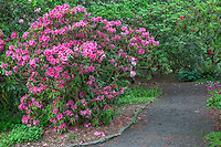 ORPTC_D207 - USA, Oregon, Portland, Crystal Springs Rhododendron Garden, Light red blossoms of rhododendrons in bloom along pathway.