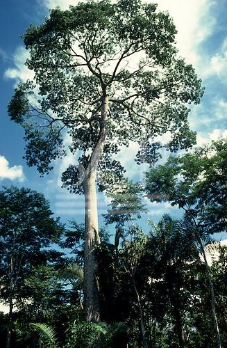 Rondonia State, Brazil. Brazil nut tree in the Amazon rainforest.