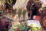 Amblycirrhitus pinos, Redspotted hawkfish, Roatan