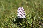 Common Spotted Orchid, Dactylorhiza fuchsii, near Kynance Cove, Cornwall, England, UK