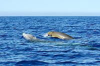 MEX51. ISLA GUADALUPE (MÉXICO), 01/06/2017.- Fotografía cedida por la organización ambientalista Sea Shepherd hoy, jueves 1 de junio de 2017, que muestra ejemplares de zifio de Cuvier en la Isla de Guadalupe (México). Especialistas de Sea Shepherd lograron filmar con un dron el comportamiento de un zifio de Cuvier, uno de los cetáceos más esquivo de los océanos, en la Isla Guadalupe, en el norteño estado de Baja California en México. EFE/Carolina A.Castro/Cortesía/Sea Shepherd/SOLO USO EDITORIAL
