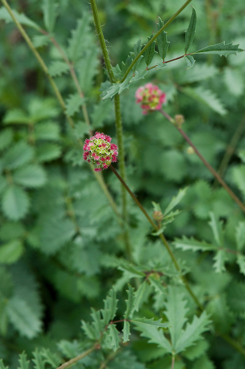 Salad burnet (Sanguisorba minor), mid June. Sometimes also known as garden or small burnet.