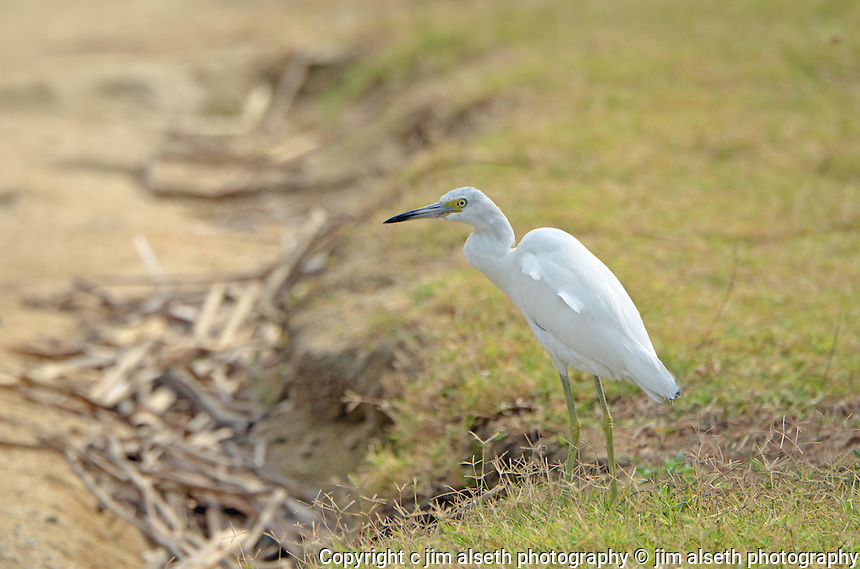 Some of the large waders and flyers of the Los Cabos region included in this gallery are great blue herons, great and little white egrets, ospreys, and brown pelicans. Affordable stock photos with animal photos, wildlife photos and bird photos.