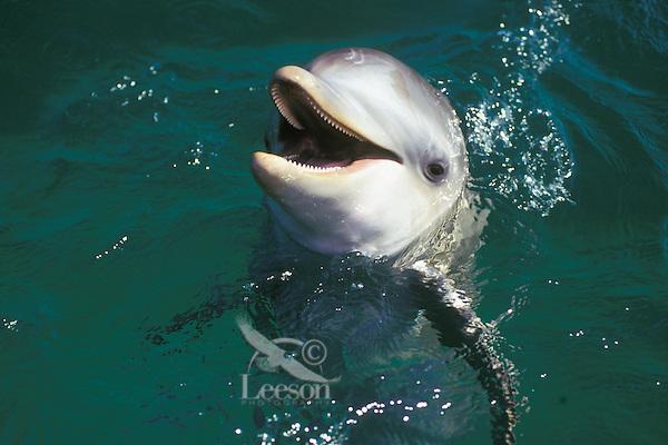 Common Bottlenose Dolphin or Bottle-nosed dolphin (Tursiops truncalus).Honduras