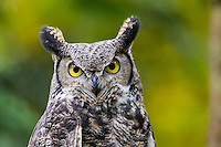 Great Horned Owl (Bubo virginianus).<br />