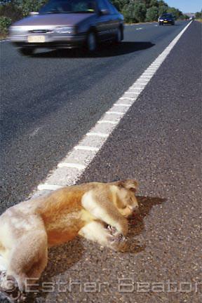 Roadkill Koala on Hume Highway near Seymour, Victoria.. Threatened species