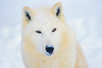 Arctic Gray Wolf in snow.