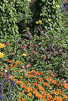 Thunbergia 'Sunny Yellow Star' in garden border with Zinnia angustifolia, Salvia farinacea, Perilla, Rudbeckia, etc