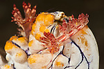 Aeolid nudibranch (Flabellina rubrolineata) laying its eggs