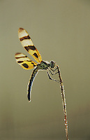 Halloween Pennant, Celithemis eponina, female with dew, Welder Wildlife Refuge, Sinton, Texas, USA, May 2005