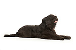 Black Russian Terrier Dog, Laying Down, Studio, White Background